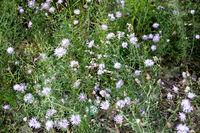 Wild flowers, small florets of violet color above view. Steppe landscape. Selective focus.