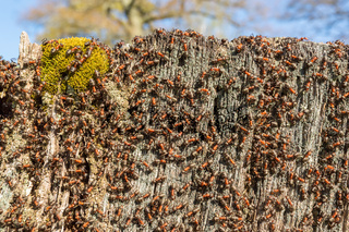 Tree Stump with lots of ants