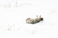 rolling in snow, scratching its back... Coyote *Canis latrans*