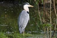 Grey Heron in the water 9