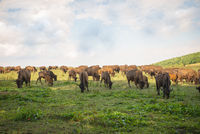 Bison herd grazing