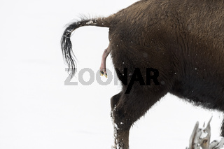 die Geburt...  Amerikanischer Bison *Bison bison*