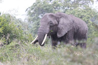 African elephant consuming branches of a small tree under a gentle rain