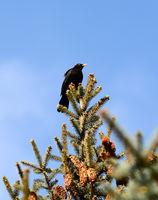 singing black bird