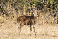 Bushbuck male standing among the bushes in the Ugandan bush sunny day