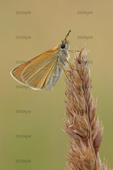 European skipper (Thymelicus lineola)