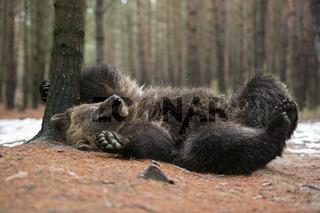 et' juckt... Europäischer Braunbär *Ursus arctos* wälzt sich auf dem Rücken, lustig