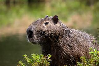 Close up of a Capybara, Pantanal, Brazil