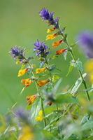Wood cow-wort