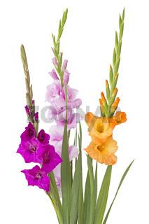 Drei Gladiolen (Gladiolus) auf weißem Hintergrund