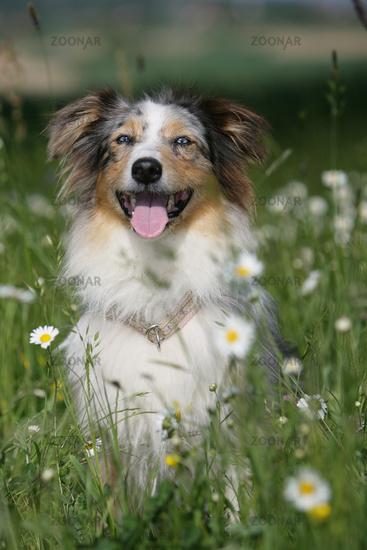 Australian shepherd dog between flowers