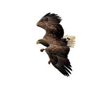 White-tailed eagle on a white background