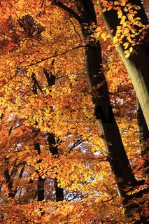 Buchenbäume im Herbst, quer