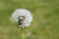Pusteblume mit sich lösendem Samen