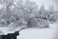 Small winter stream under snowbound trees under snow in winter. Pigeons on brunches