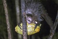 Aye-Aye (Daubentonia madagascariensis), Ankanin Ny Nofy, Madagascar
