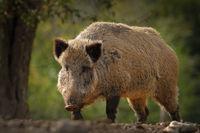 huge wild boar coming towards the camera ( Sus scrofa )