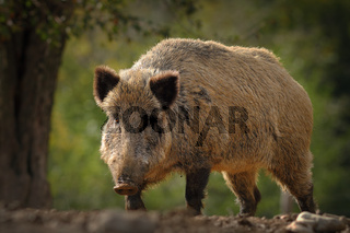 huge wild boar coming towards the camera ( Sus scrofa )