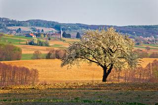 Lonely blossom tree in Prigorje region of Croatia