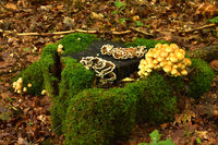 mushrooms on mossy stump