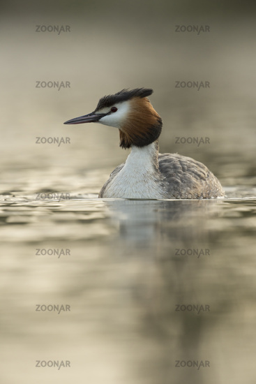 in soft backlight... Great Crested Grebe *Podiceps cristatus*