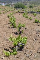 Alte Weinstöcke im Orotava-Tal,  Teneriffa, Kanarische Inseln, S
