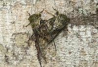 Mating neotropical cicadas, Western Andean foothills, Ecuador