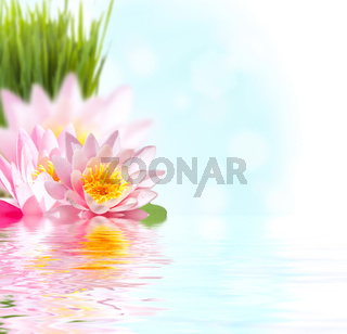 Pink lotus flower floating in water