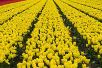 Field of yellow tulips of the species Yellow Purissima, Noordwijkerhout, Netherlands
