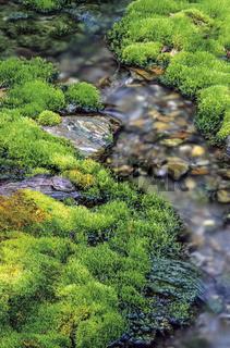 Moospolster am Ufer eines kleinen Baches / Denali-Nationalpark