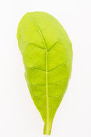 green tobacco leaf isolated on the white background
