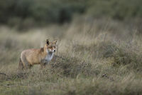 in natural surrounding... Red Fox *Vulpes vulpes*