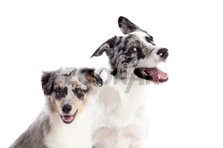 Portrait of 2  blue merle dogs