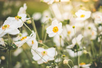 spring flowers in meadow , white flowers