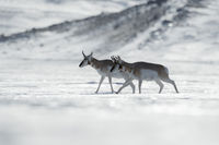 ice desert... Pronghorns *Antilocapra americana*