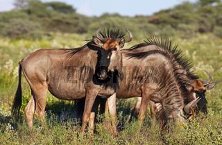 Streifengnus, blue wildebeest, Connochaetes taurinus, Namibia