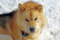 schlittenhunden in kangerlussuaq.jpg