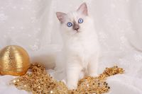 HEILIGE BIRMA KATZE, BIRMAKATZE, SACRED CAT OF BIRMA, BIRMAN CAT, KITTEN, BLUE-POINT,