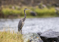 Great blue heron in raining