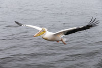 Pelican fly over water