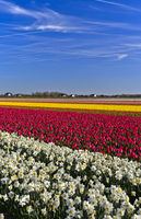 Cultivation of daffodils and tulips for the production of flower bulbs,Bollenstreek area,Netherlands