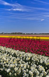 Anbau von Narzissen und Tulpen zur Produktion von Blumenzwiebeln, Bollenstreek, Niederlande