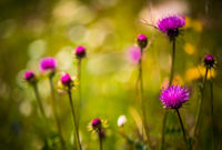 Abstract background of Alpine flowers. Milk Thistle in Alpine meadows.