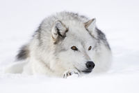 relaxed... Gray Wolf *Canis lupus*