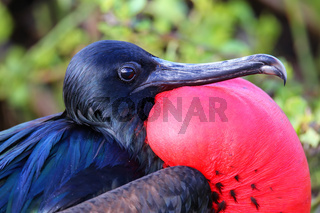Portrait of male Great Frigatebird
