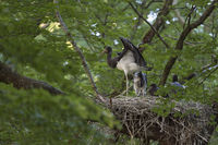 almost fledged... Black Stork *Ciconia nigra*, young birds on a hidden nest high up in a beech