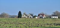 D--Niederrhein--überwinternde Blässgänse.jpg