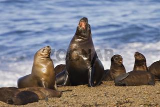 Seeloewenkolonie (Otaria flavescens) Halbinsel Valdes, Argentinien, Southern Sea Lion colony, peninsula Valdes, Argentina