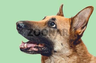 Head Shot of German Shepherd