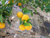 Orange tree on a house wall